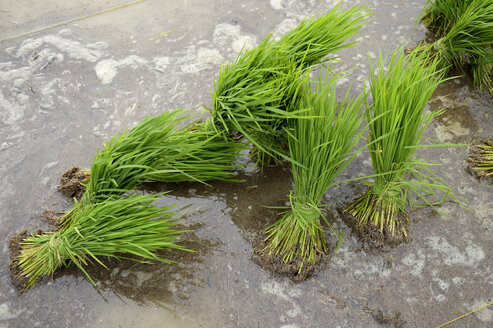 Indonesia, Aceh, Lam Teungo, seedlings on paddy field - FLK000570