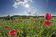 Austria, Lower Austria, Waldviertel, Poppy field, Papaver somniferum, grey poppy - SIEF006464