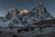 Nepal, Khumbu, Everest region, sunset on Arakam Tse peak, Yaks at Lobuche base camp - ALRF000030