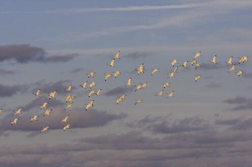 USA, Florida, Miami, swarm of young birds - THAF001229