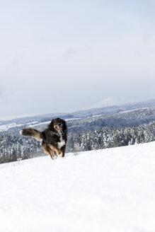 Germany, Baden-Wuerttemberg, Waldshut-Tiengen, dog running in snow - MIDF000054