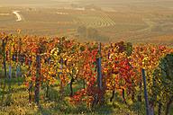 Austria, Burgenland, Oberpullendorf District, Blaufraenkischland, Neckenmarkt, vineyards in autumn - SIEF006475