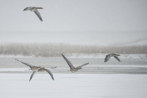 Germany, Schleswig-Holstein, five flying grey gooses in winter - HACF000229