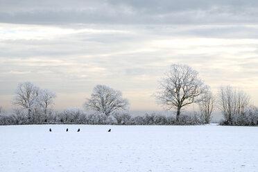 Germany, Schleswig-Holstein, four raven in winter landscape - HACF000232