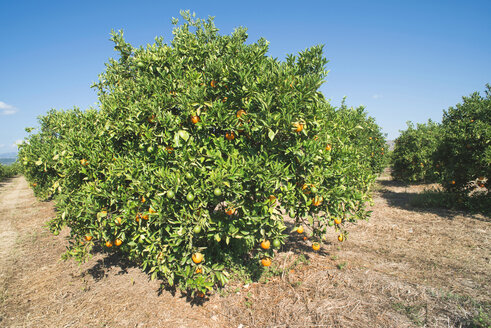 Greece, Peloponnese, orange tree in plantation - DEGF000192