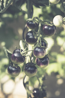 Black tomatoes growing in the garden - ASCF000042
