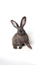 Brown rabbit in front of white background - CNF000043