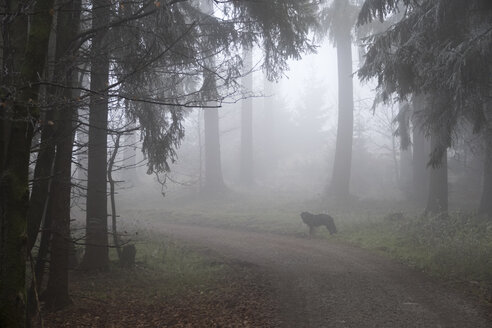 Germany, Hesse, dog on forest path in Taunus - ATA000110