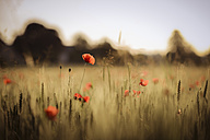 Austria, Poppy field in the evening - STCF000075