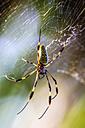 Costa Rica, Golden orb-weaver, Nephila clavipes - THAF001246