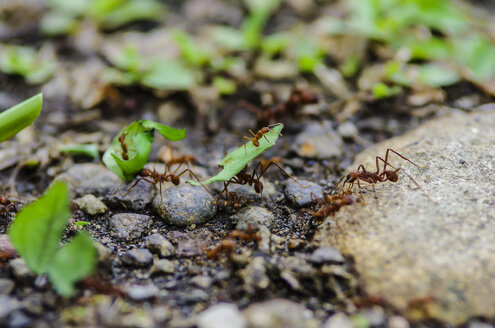 Costa Rica, Leaf-cutting ants carrying leaves - THAF001262