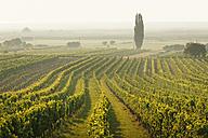 Austria, Burgenland, vineyards at Lake Neusiedl between Oggau and Rust - SIEF006485