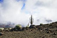 USA, Hawaii, Maui, Haleakala, silversword growing in volcanic crater - BRF001070