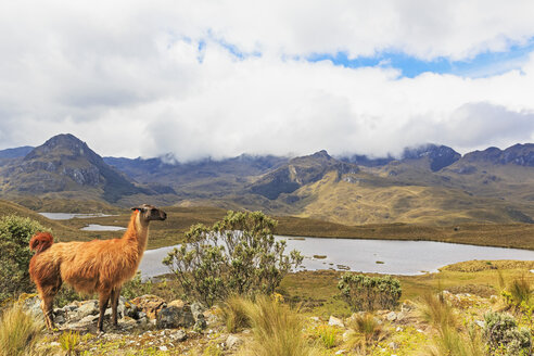 Ecuador, Cajas National Park, llama standing on a hill in front of a lagoon - FOF007708