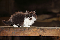 British Longhair kitten standing on wooden beam - HTF000671
