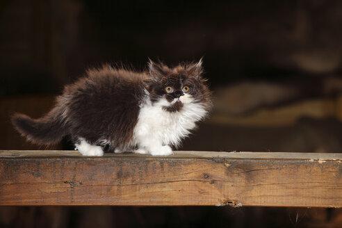 British Longhair kitten standing on wooden beam - HTF000671