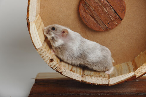 Campbell's Dwarf Hamster running in hamster wheel - HTF000674