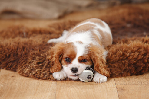 Portrait of Cavalier King Charles Spaniel puppy lying on sheep skin - HTF000685