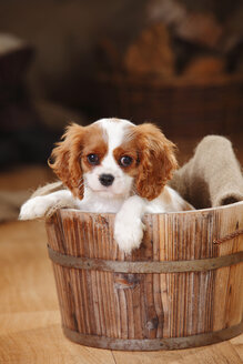 Portrait of Cavalier King Charles Spaniel puppy sitting in wooden tub - HTF000686