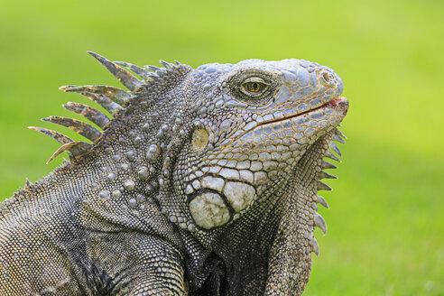 Ecuador, Guayaquil, portrait of Green Iguana - FOF007733