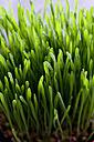Cat grass - CSF024697