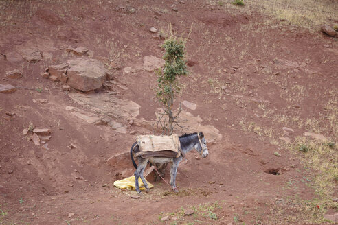 Morocco, donkey on clay soil - STDF000131