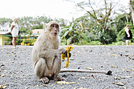 Thailand, monkey eating banana - STD000162