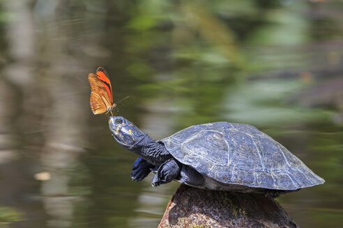 Ecuador, Amazonas River Region, Julia butterfly on nose of Yellow-spotted river turtle - FOF007746