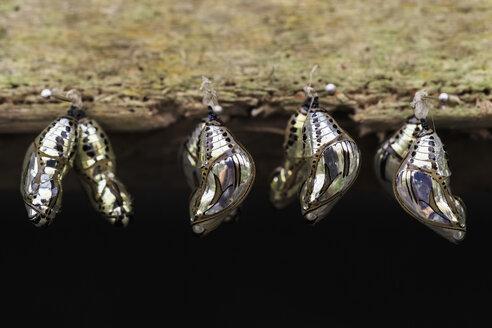 Ecuador, Amazonas River Region, chrysalis of Lycorea butterlie - FOF007754