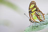 Ecuador, Amazonas River Region, Malachite butterfly on leaf - FOF007760