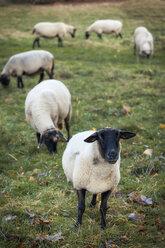 Germany, grazing sheeps - EVGF001273