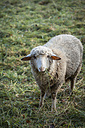 Portrait of grazing sheep - EVGF001283