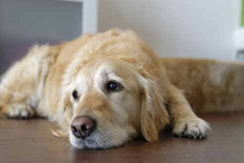 Tired Golden Retriever lying on wooden floor - LBF001076