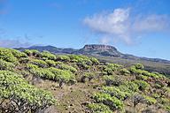 Spain, Canary Islands, La Gomera, Valle Gran Rey, Plateau La Merica, Table Mountain Fortaleza, spurge bushes - SIEF006503