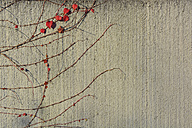 Bald vines with little red leaves on a wall - AXF000748