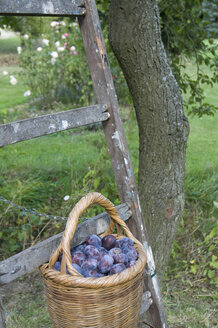 Wire basket of plums standing on ladder in a garden - GIS000044