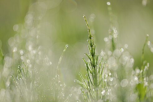 Common horsetail or field horsetail, Equisetum arvense, with dew drops - RUEF001515