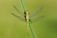 Newly emerged Black-tailed Skimmer drying its wings - RUEF001518