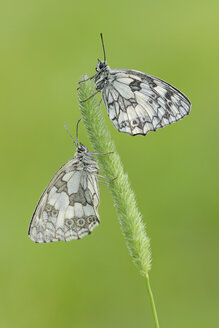 Pair of Marbled White butterflies - RUEF001525