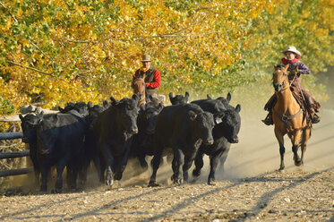 USA, Wyoming, cowboy and young cowboy riding horses and herding cattles - RUEF001572