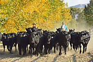 USA, Wyoming, cowboy and cowgirl riding horse and herding cattles - RUEF001577