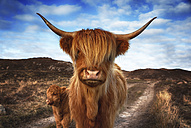 UK, Scotland, Highland cattle with calf at Laide - SMAF000322