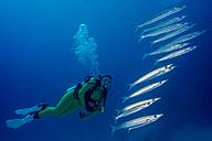 Palau, scuba diver watching Heller's barracudas - JWAF000267