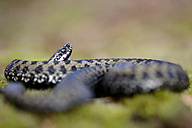 England, European adder, Vipera berus - MJOF000956