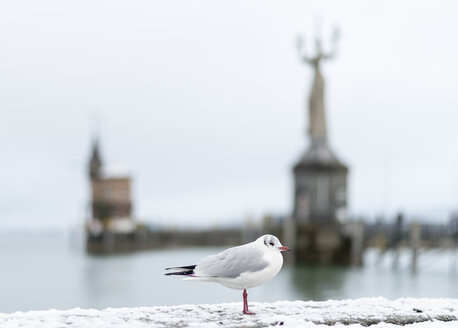 Germany, Baden-Wuerttemberg, Constance, Lake Constance, Black-headed gull, Statue Imperia in the background - KEBF000050