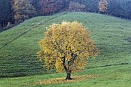 Germany, Bavaria, Bergen, tree in autumn - SIEF006519