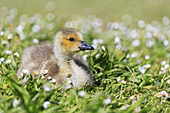 USA, Oregon, young Canada goose lying on flower meadow - FOF007818