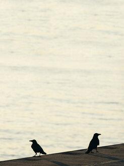 Germany, Hamburg, two ravens at River Elbe - KRPF001389
