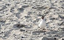 Begging seagull on sandy beach - ASCF000057