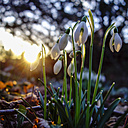 Snowdrops at backlight - HOHF001307